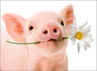 CARD BLANK PIG WITH FLOWER