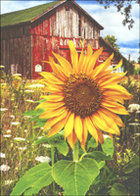 CARD BLANK LARGE SUNFLOWER
